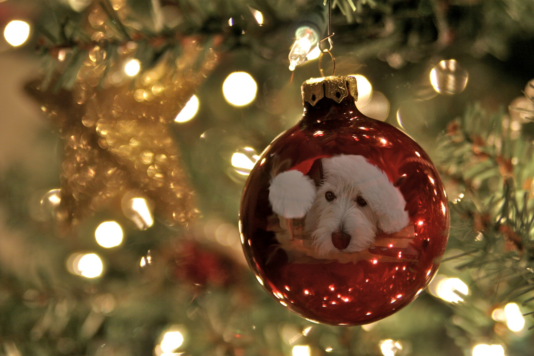 West Highland Terrier reflection on a Christmas tree ornament