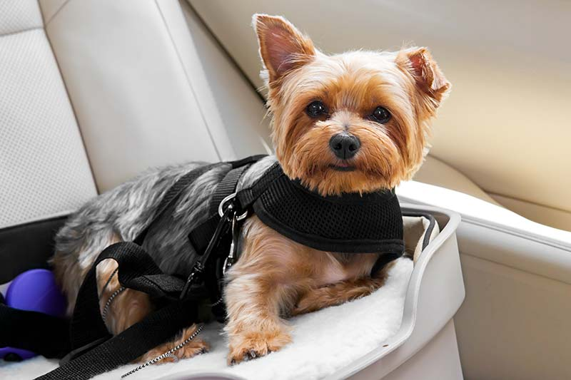 Travel with a Special Needs Pet can require special pet health considerations.
