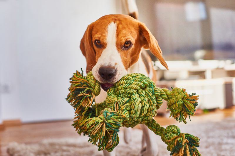 dog carrying rope