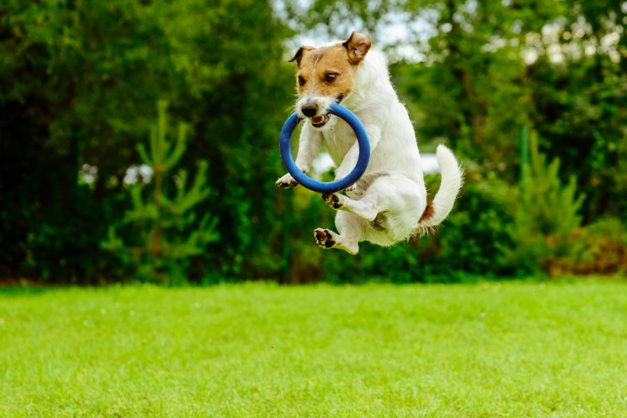 dog jumping with toy