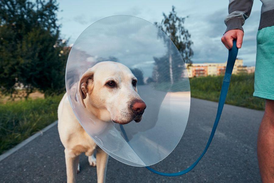 walking dog after surgery