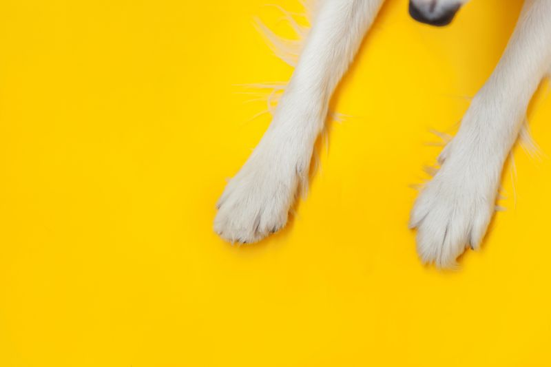 White dog paws against a bright yellow background.