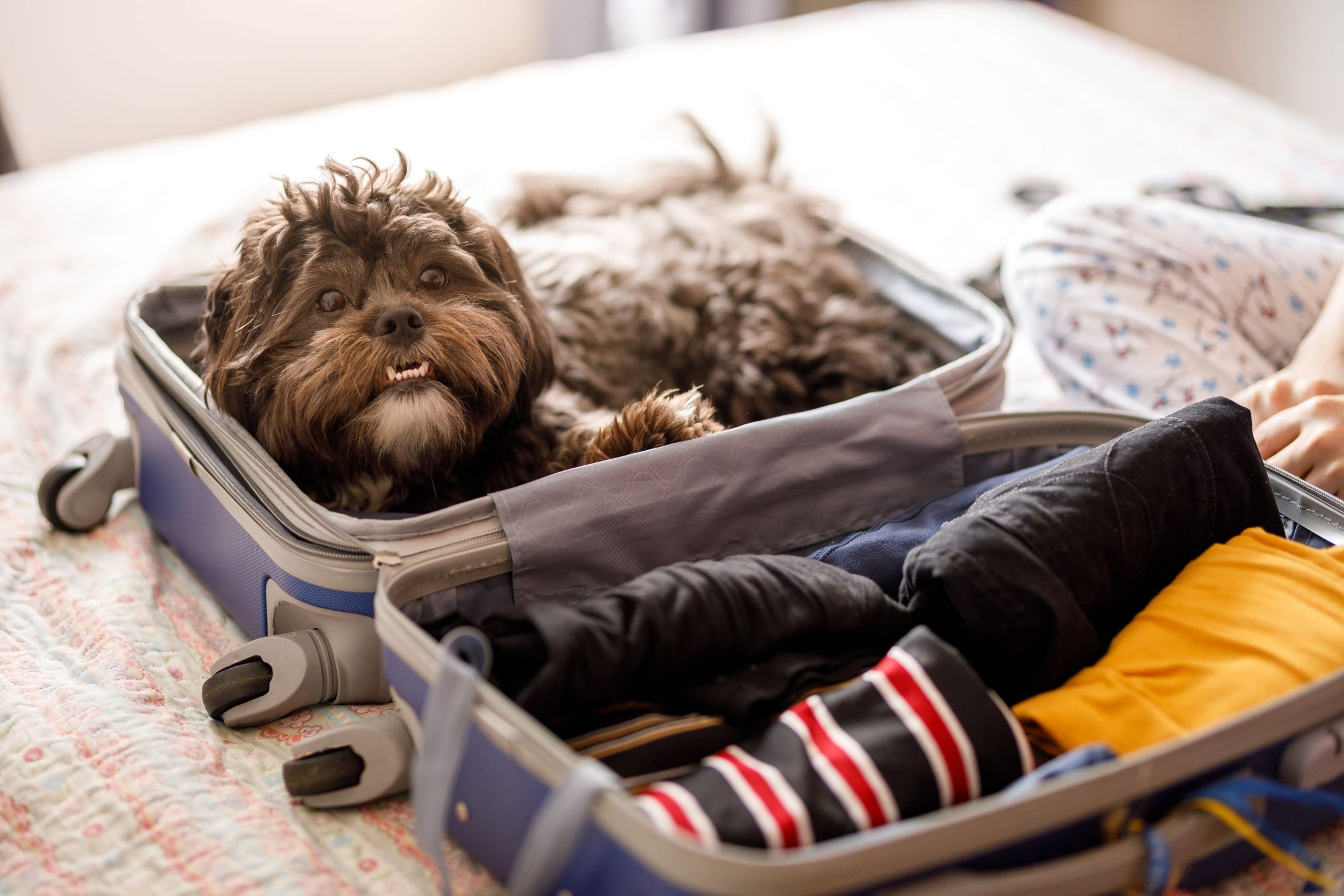 Dog sitting in suitcase ready to travel.