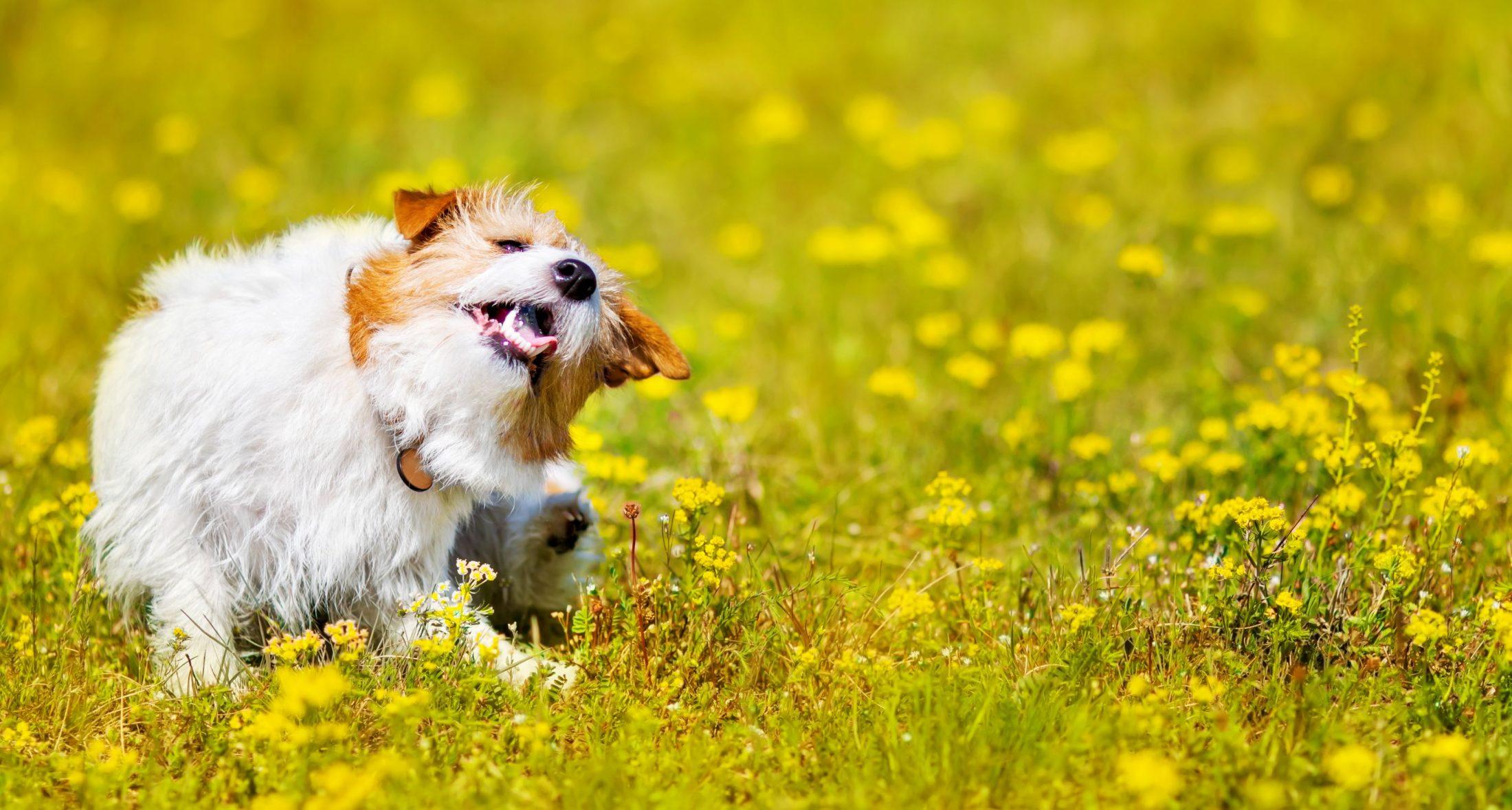 pet dog itching itself.
