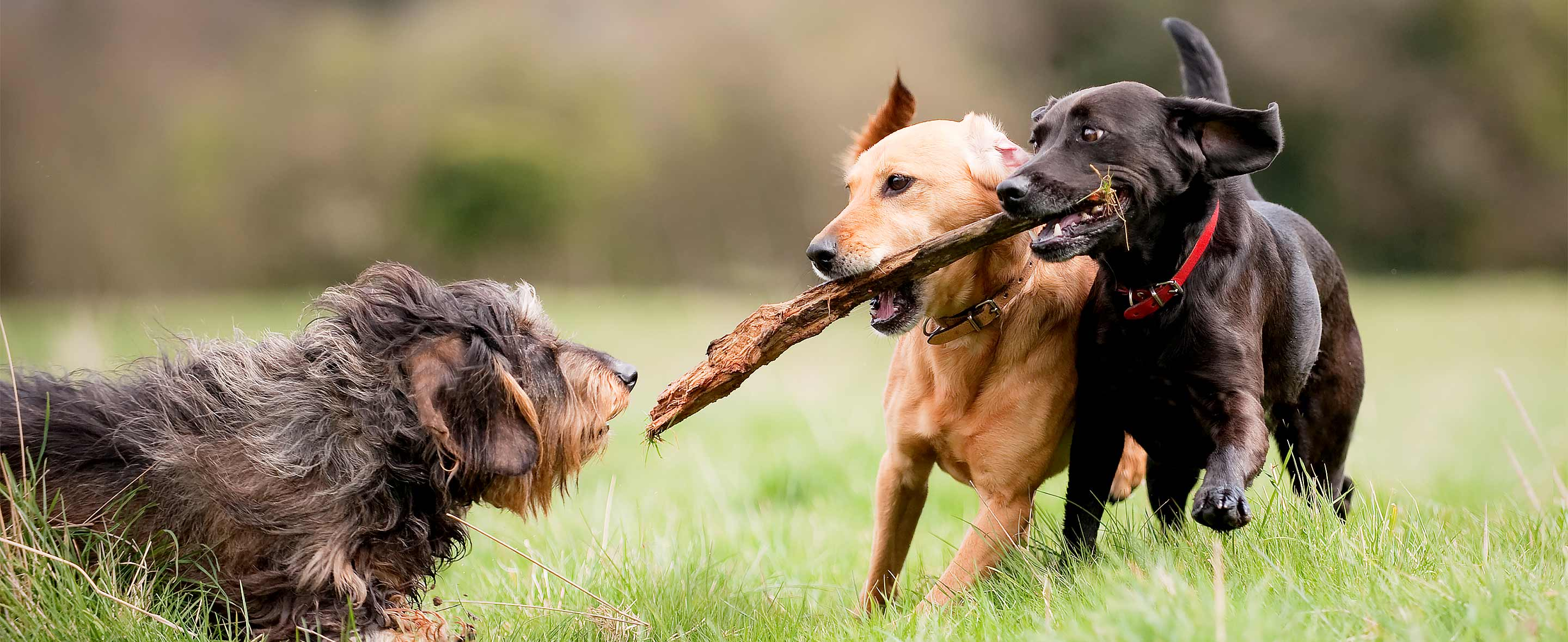 Dogs running with a stick outdoors